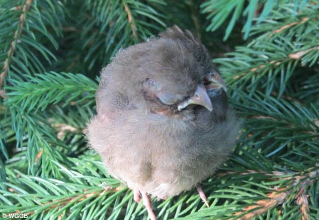 Concerne: Mme Britt est désormais inquiets de l'oiseau ne survivra pas à cause de sa difformité