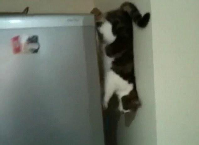 Non, vos yeux ne mentent pas ... C'est le chat marche Piggy vers le bas une chute verticale