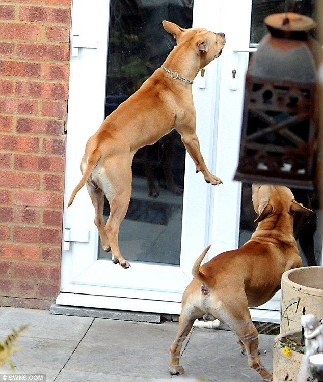 Aggression: Two pit bull-style dogs seen leaping up at Shovell King's house near to where Keiron was attacked