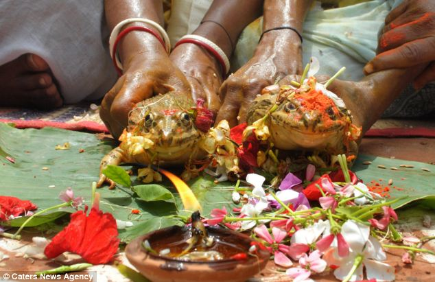 Beautiful ceremony: The frogs are doused with an orange powder and pretty flowers before posing for their wedding photos
