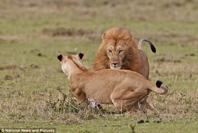 Keen: When this loved-up lion spotted a female, he decided she was the woman for him