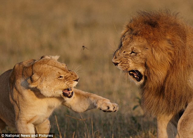 Success: Despite getting a slap around the face, the lion's persistence paid off and he eventually got his woman