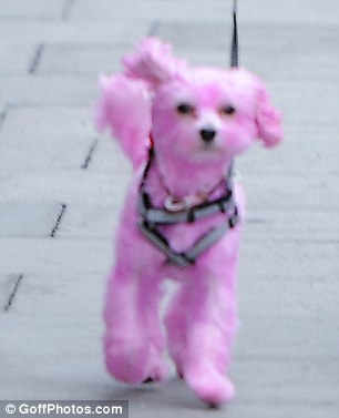 New look: The pink pooch was spotted in Bethnal Green, London, on Friday