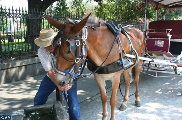 'Take them in': Robert Rotherham gives carriage mule Miss Pierre a drink in New Orleans French Quarter as a city ordinance keeps the animals off the streets when it reaches 95 degrees or more
