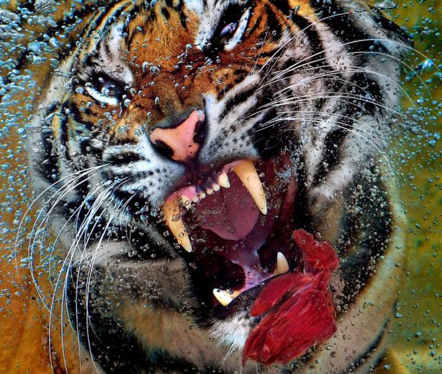 A Tiger At Six Flags Discovery Kingdom Park In Vellejo California