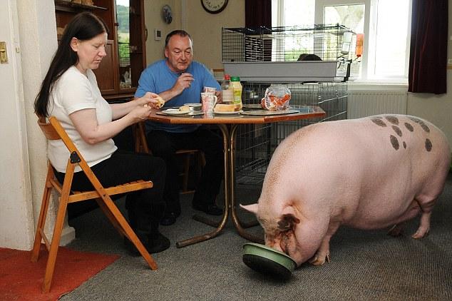 Modales en la mesa: Babe, un cruce entre un cerdo miniatura Pot vientre y un lugar de Gloucester Antiguo, se suponía que sólo crezca hasta cerca de cuatro años y medio una piedra