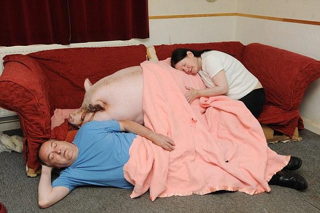Sándwich de tocino: Colin propietario de Babe y Susie Webb están siendo lentamente musculatura de su propia casa por el gigante de cerdito