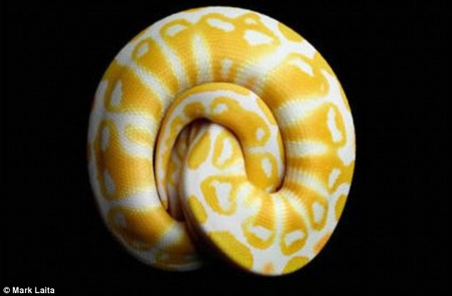 Natural beauty: The Albino Black Ball python was pictured by the photographer in order to highlight the plight of the snakes