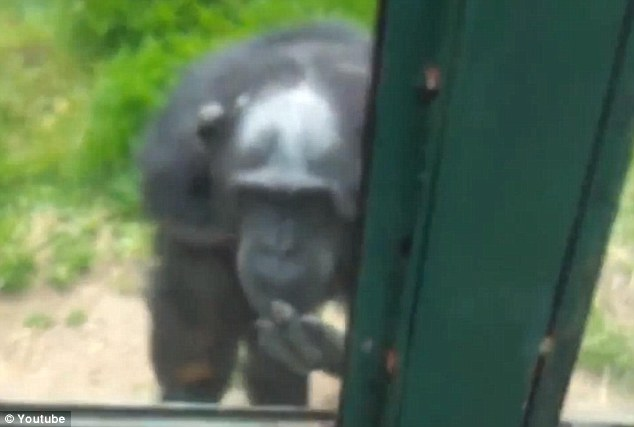 Helping hand: The chimpanzee desperately tries to communicate with the human visitor