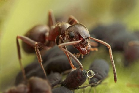 Experts say a 'perfect storm' of weather conditions has led to an ant invasion across Britain