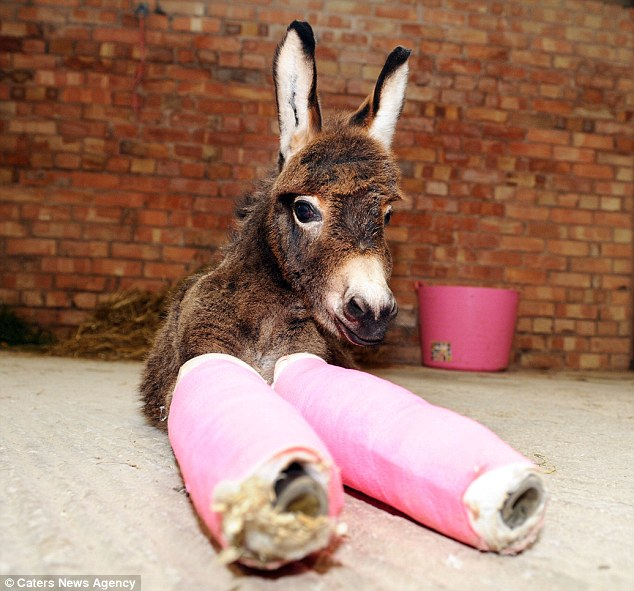 Because her legs are bowed, Primrose's knee bones would have been crushed under the weight were it not for the casts. It is hoped they can be removed in 10 days