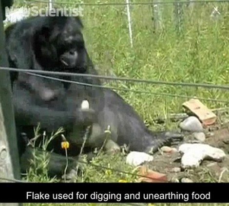 Kanzi also used flakes to unearth buried food