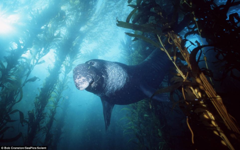 Blue moon: A northern elephant seal bull, in kelp forest, California, East Pacific Ocean