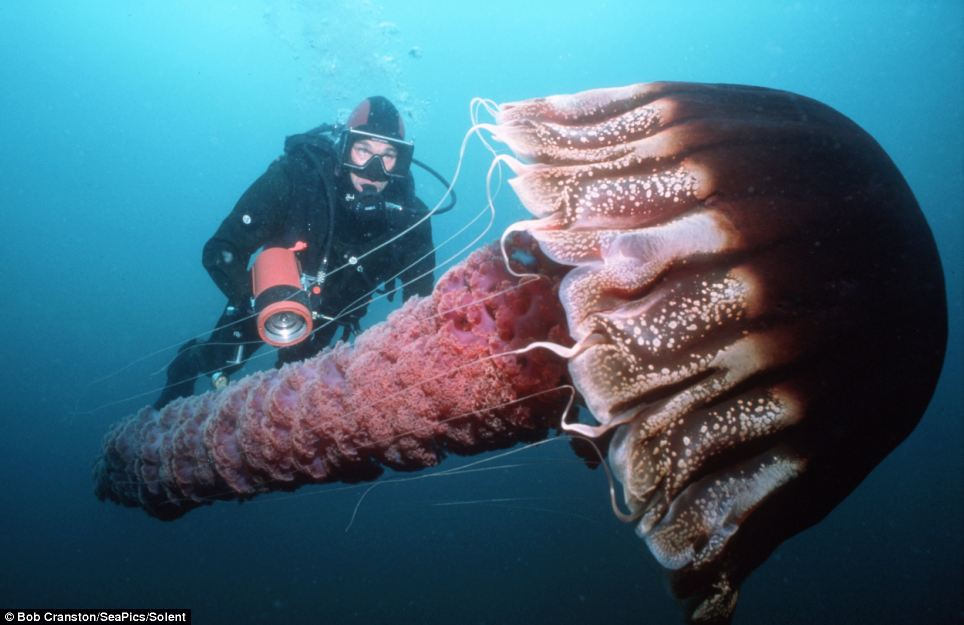 Dangers of the deep: The giant pelagic jellyfish grows to twice the size of a fully grown man with a nasty sting in its tentacles