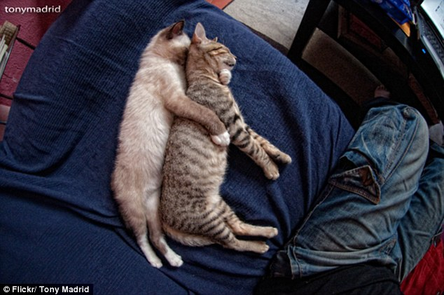 Spooners: A gray cat is caught getting frisky with its friend, or sneaking up behind to snatch him by his throat