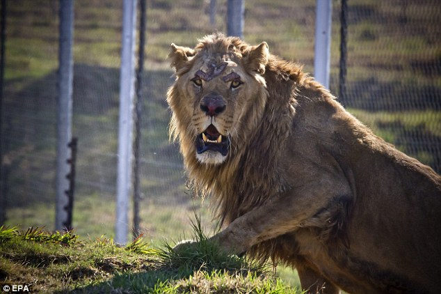 The lions were rescued by Four Paws, a London-based international animal rights organization