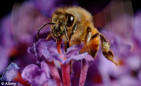 Falling: Bee numbers have been rapidly declining around the world in the last few years