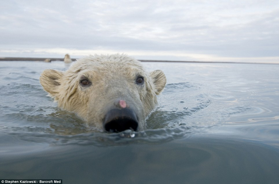 In-your-face polar bear pictures (4/6)
