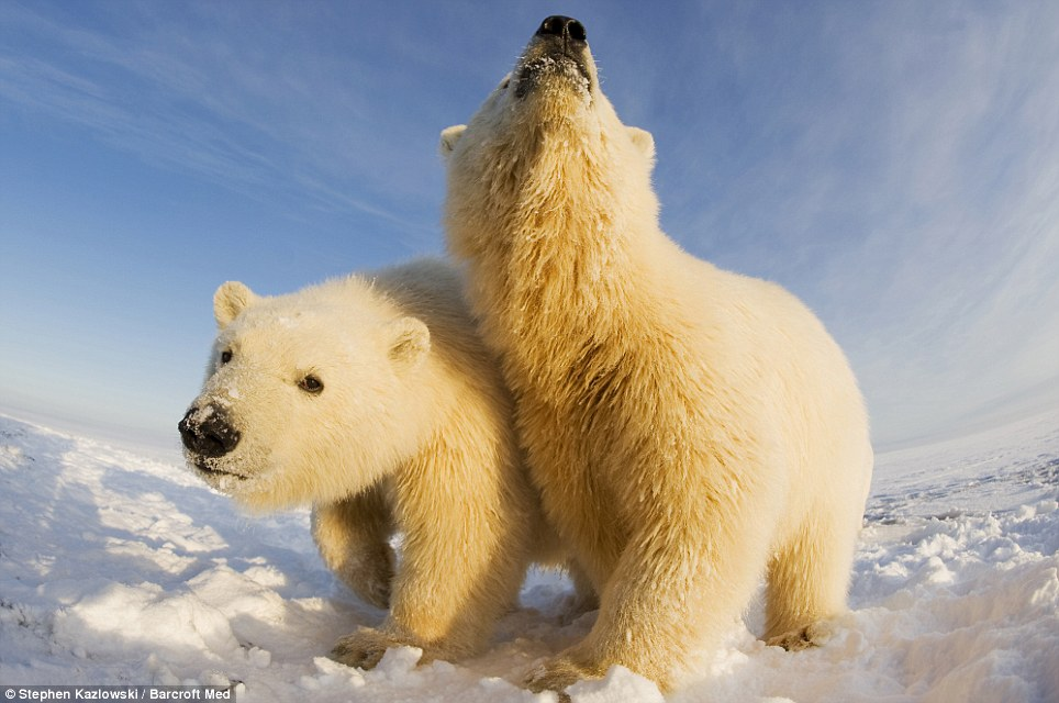 In-your-face polar bear pictures (3/6)