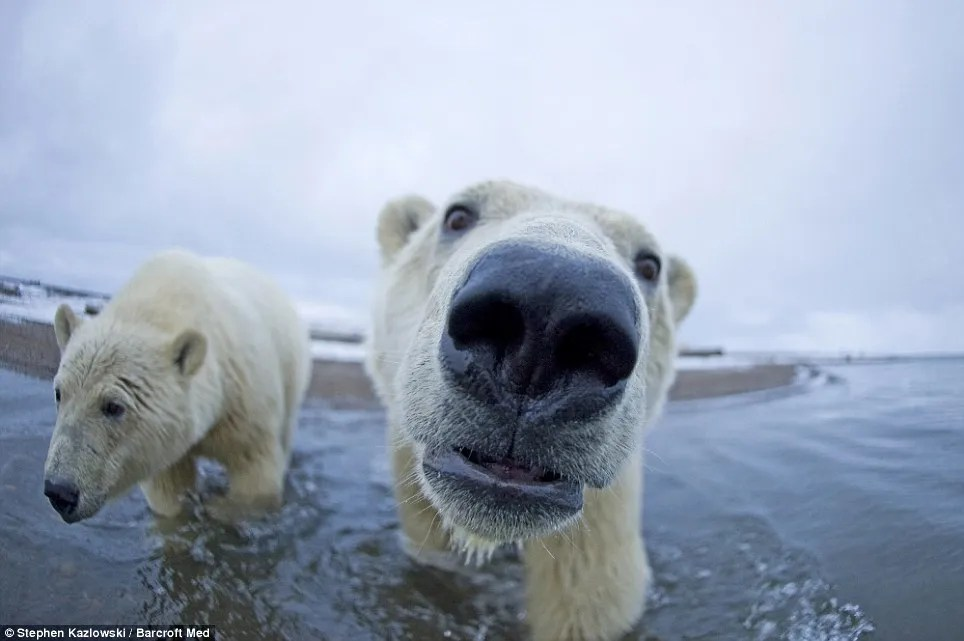 In-your-face polar bear pictures (5/6)