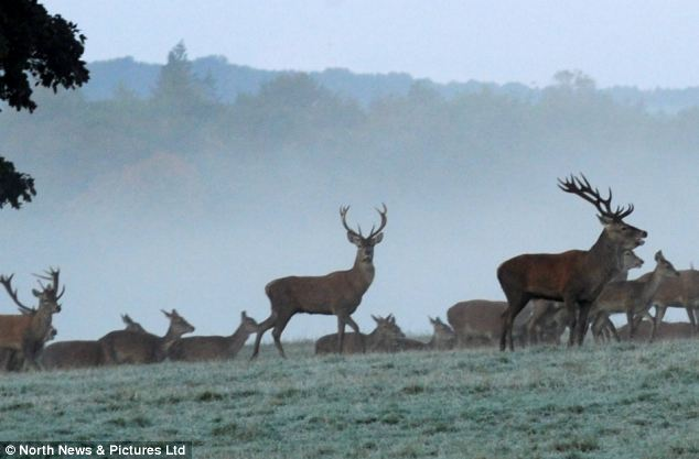 Frosty: Stags and deer wander through the frost covered grass at Raby Caste in County Durham this morning