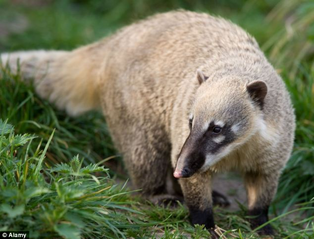 Clubbed to death: A Coati - a Brazilian aardvark - was allegedly beaten to death using a baseball bat or a crowbar