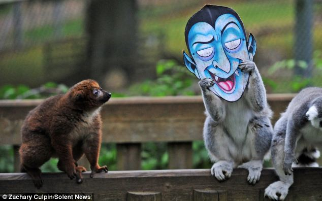 Ring-tailed lemurs had fun scaring their friends with ghoulish Frankenstein and vampire masks