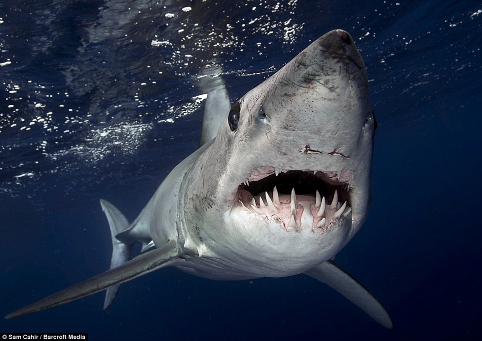 Tough nut: The Mako shark bore battle scars from its previous encounters
