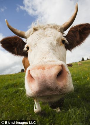 Cows cannot contract HIV but their immune systems develop antibodies against the foreign protein