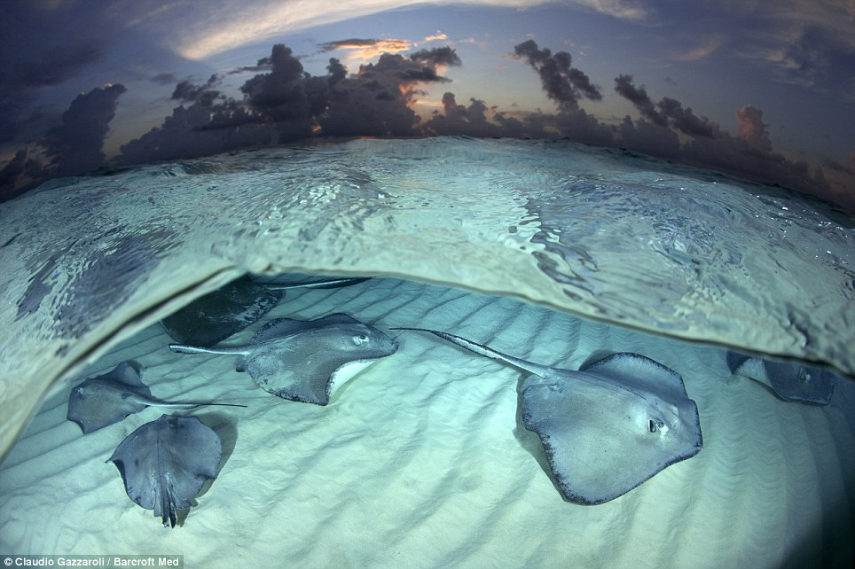 Going under: Mr Gazzaroli added that it is clear to see 'the beauty of this wild animal