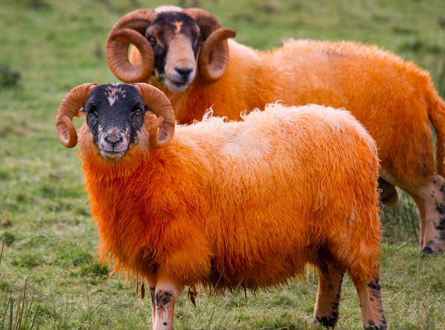 Would ewe believe it: A farmer on the Isle of Mull has resorted to using bright orange dye on his sheep as he bids to fool thieves