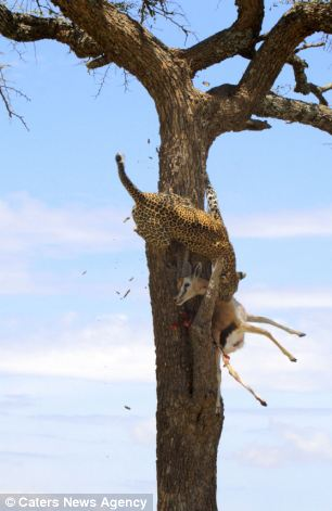 The leopard dragging its dinner up the tree