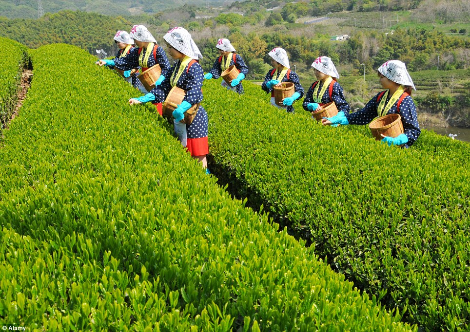 Lasting tradition: Japanese woman wear traditional outfits - similar to those worn 100 years ago - to pick tea leaves today