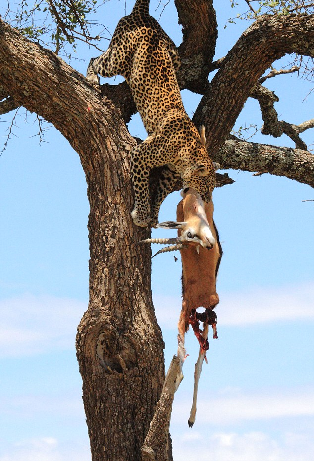 Feat: With incredible agility and strength, this leopard dragged its kill up a tree to eat