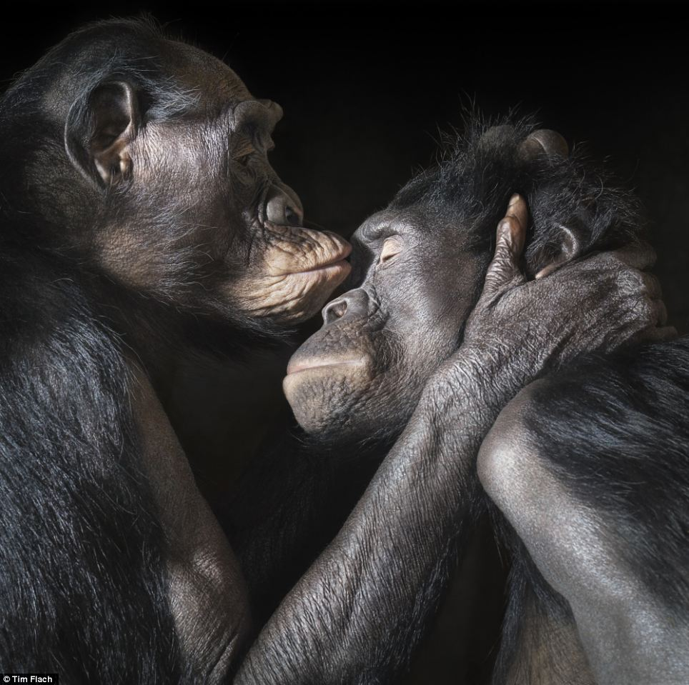 Very personal: Two apes enjoy an intimate moment together