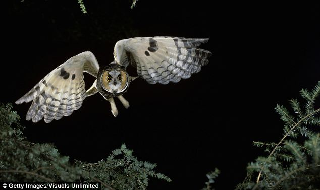 Stealthy: A long-eared owl in flight. Scientists are studying the wing structures that enable the nocturnal hunters to fly silently in the hope of replicating them to produce quieter passenger aircraft
