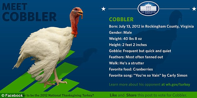 Contender: Cobbler is one of the turkeys up to be this year's official turkey, and enjoys strutting and eating cranberries