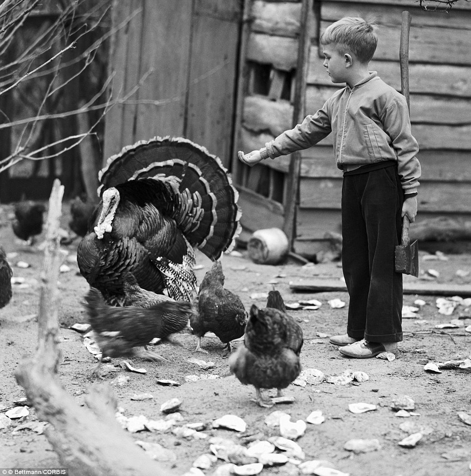 Doomed gobbler: Photo shows a boy offering a turkey some seeds that he holds in one hand, and holding an axe in the other hand in the 1930s