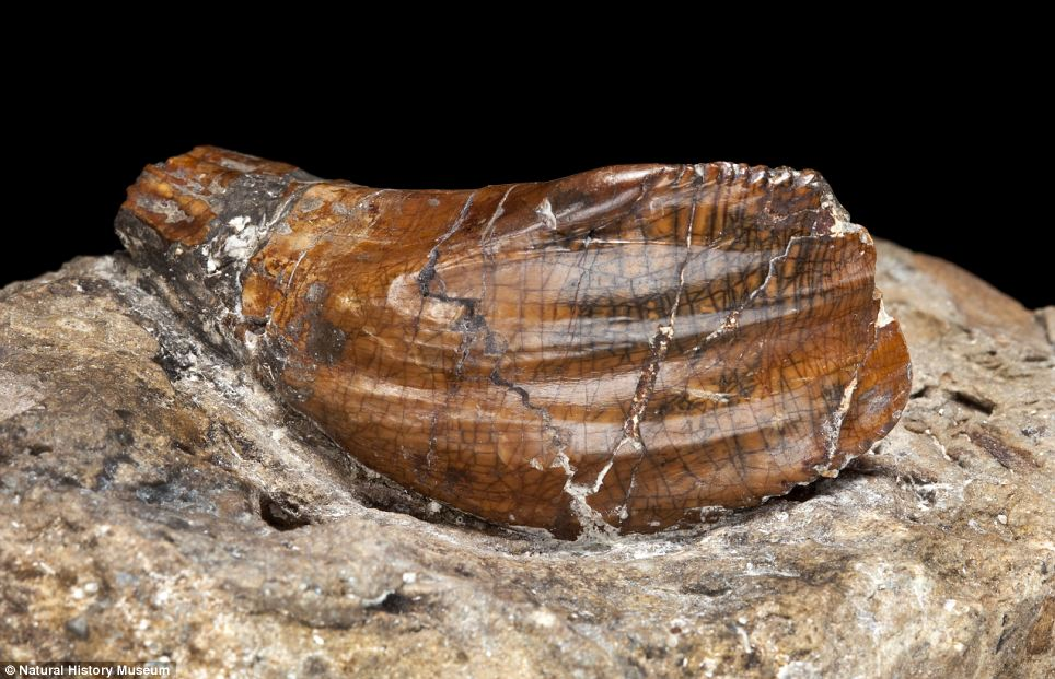 Iguanodon teeth that are around 137 million years old: These teeth were discovered by Mary Ann Mantell in 1822. The first dinosaur teeth found, they provided evidence to support the theory that giant reptiles had once walked the Earth