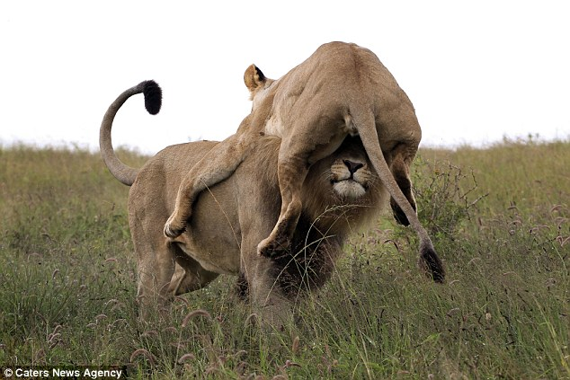 The outraged mother comically misjudged her distance and ended up on the lions head