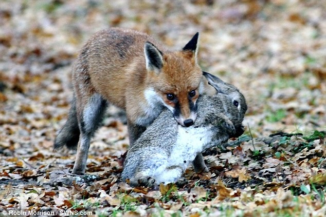Rough Justice Determined Stoat Kills Rabbit Twice Its