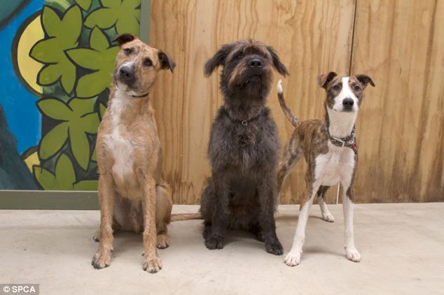 The three drivers - Porter, a 10-month old Beardie Cross, Monty, an 18-month-old Schnauzer Cross, and Ginny, a one-year-old Beardie Whippet Cross.
