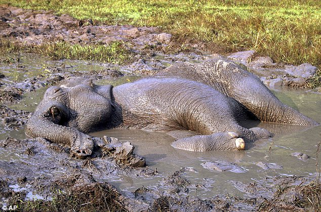 This elephant was discovered in a puddle of mud in a paddy field in India's Assam region. Locals said the elephants tusks, trunk and trail were removed by poachers