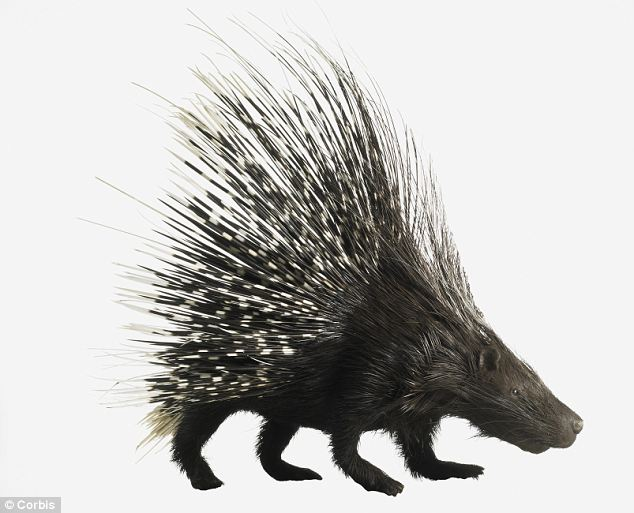 Porcupine Quills Could Help Scientists Develop Less