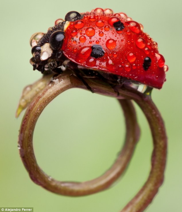 Dew-tiful lady: A ladybird covered in drops of dew walks across a shoot in Cadiz, Spain