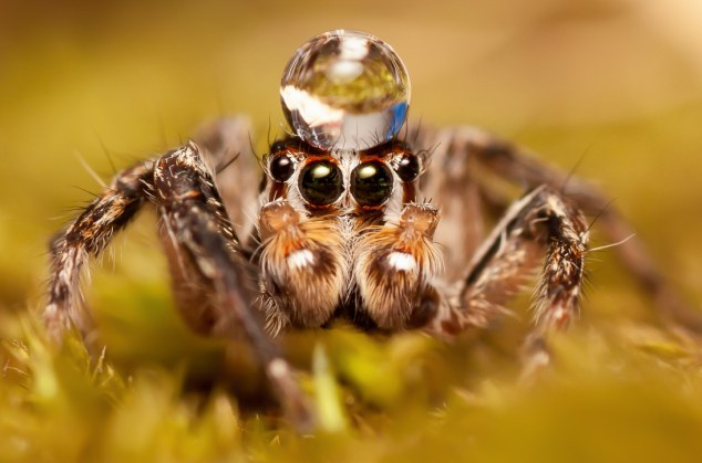 Balancing act: A spider working on the perfect posture by balancing a drop of water on its head