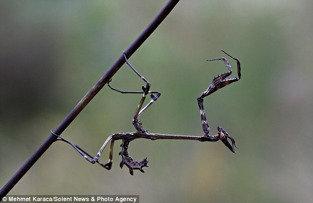 Caught on camera: The twig-like praying mantises were snapped by professional photographer Mehmet Karaca in his hometown in Kahramanmaras, a province in Turkey