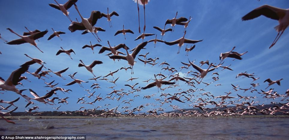 Up, up and away: A flock of flamingos takes off from Lake Nakuru National Park in Kenya, with the photographer using a low level perspective to get the impressive shot