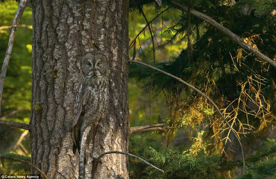 Bark and hide: A Great Gray Owl positions itself in front of a similar pattern to take advantage of his camouflage in Oregon, United States