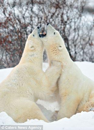 Give Me A Bear Hug Cute Moment Two Giant Polar Bears